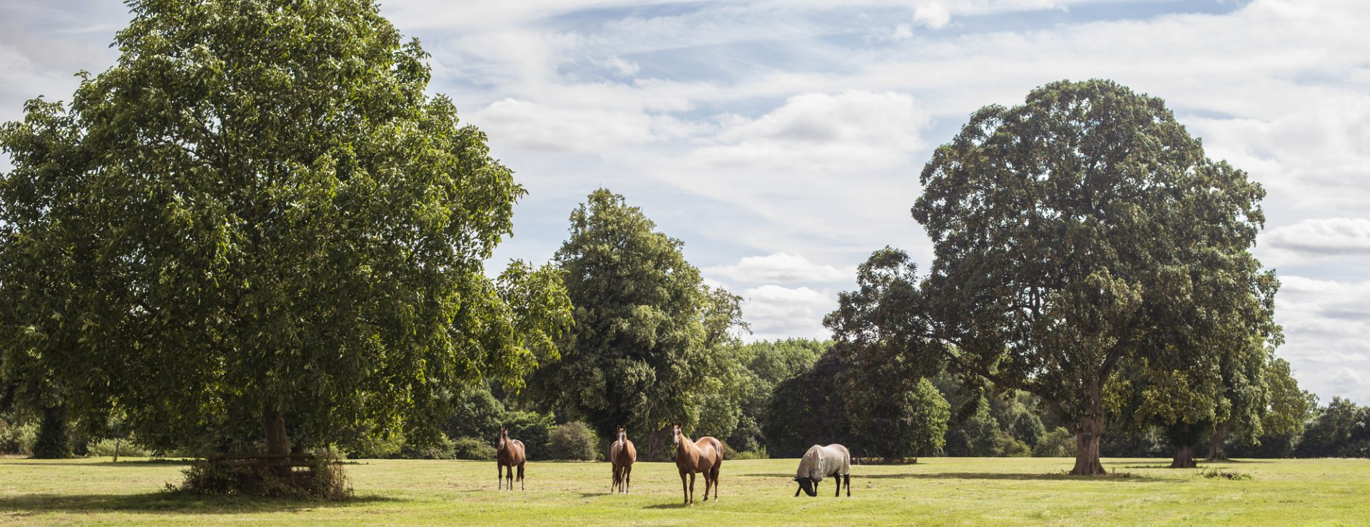 Polo Ponies grazing at Dallas Burston Polo Club