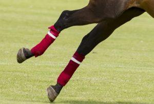 Polo wraps on chestnut polo pony legs