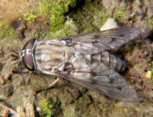 horseflies - horsefly image