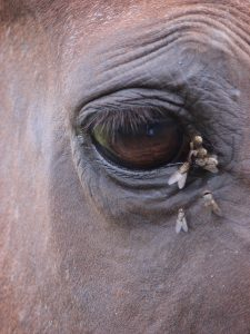 horseflies around a horses eye