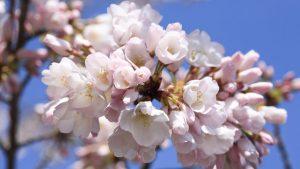spring 2019 cherry blossom
