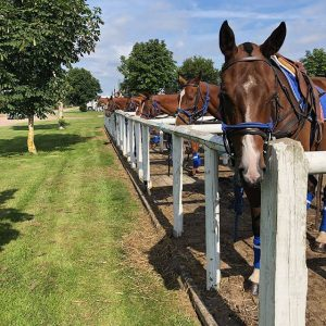 Plenty of facilities available for polo pony livery - line of polo ponies