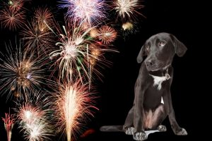 Animal safety - puppy looking at fireworks