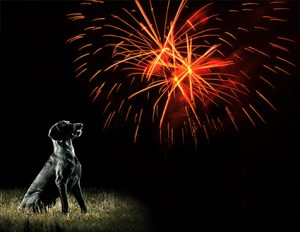 Animal safety - dog looking at fireworks