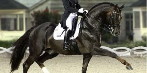 Dressage horse in action